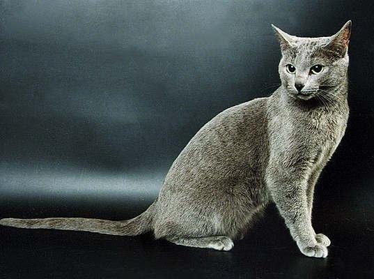 Название породы основное Русская Голубая Кошка.